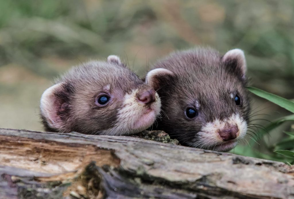 What Pine Litter Is Good for Your Ferret