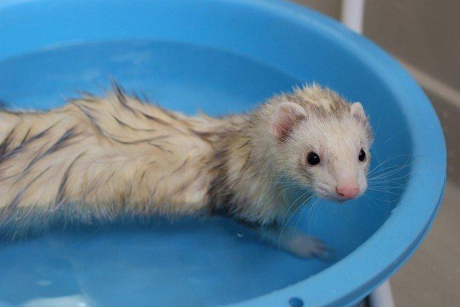 bathe your ferrets