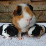 Why Do Guinea Pigs Eat Their Babies?