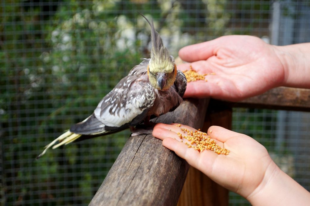A cockatiel may have a nutritional deficiency