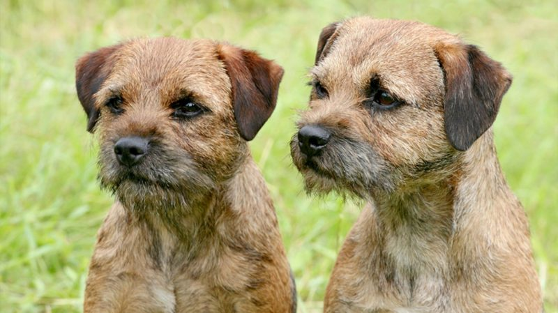 Are Border Terriers Affectionate?