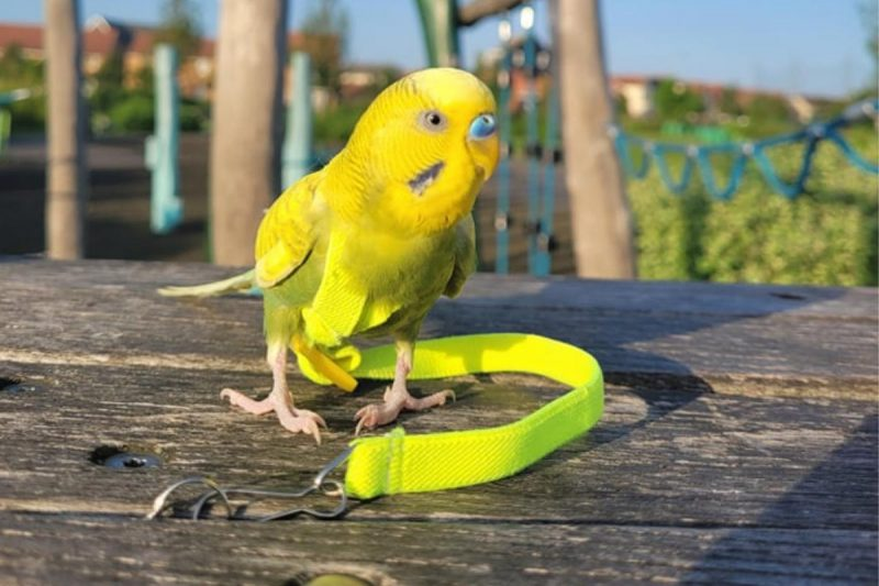 Can Budgies Find Their Way Home?