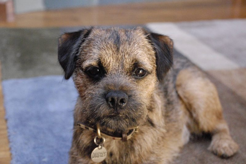 Do Border Terriers Shed Their Hair?