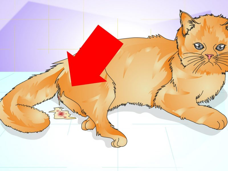 Do Cats Have Periods After Being Spayed