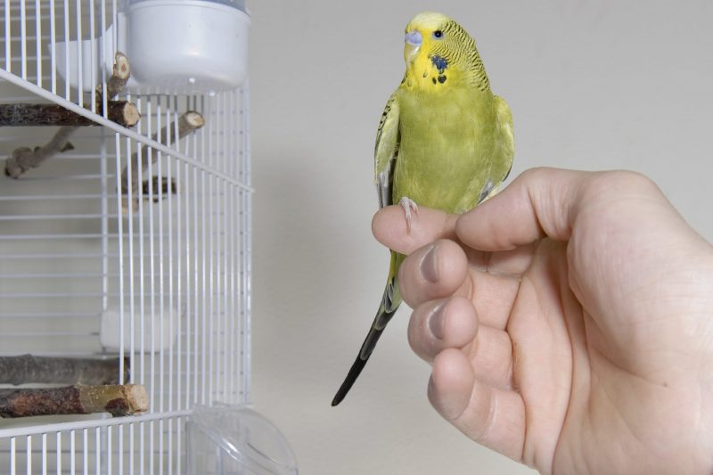 How Often Should I Let My Cockatiel Out Of Its Cage?