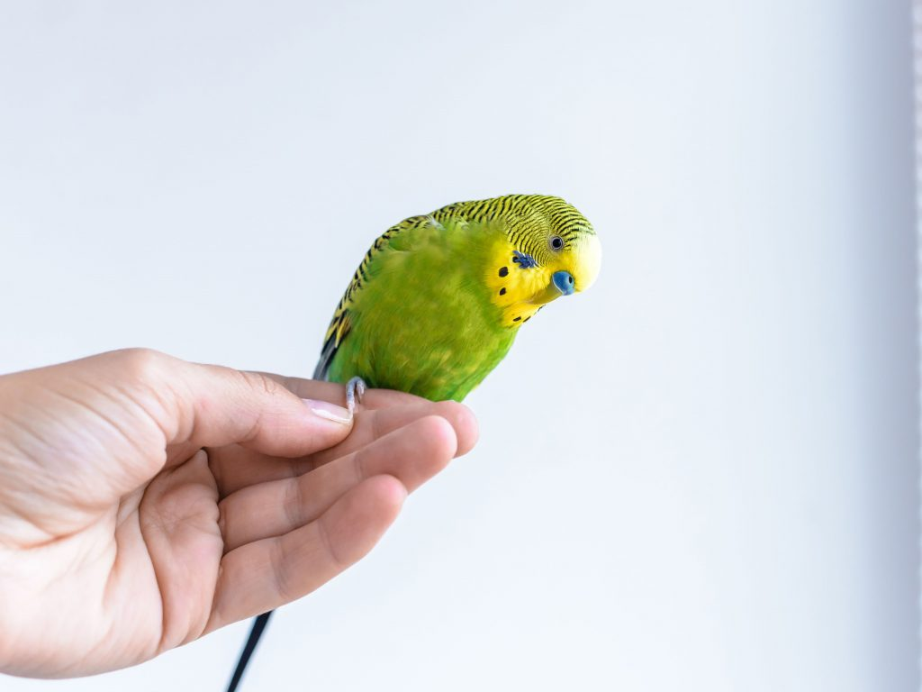 Training your budgies