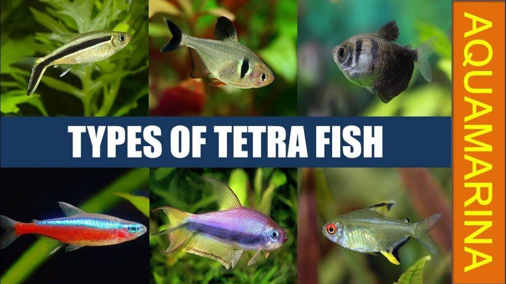 Types Of Tetras