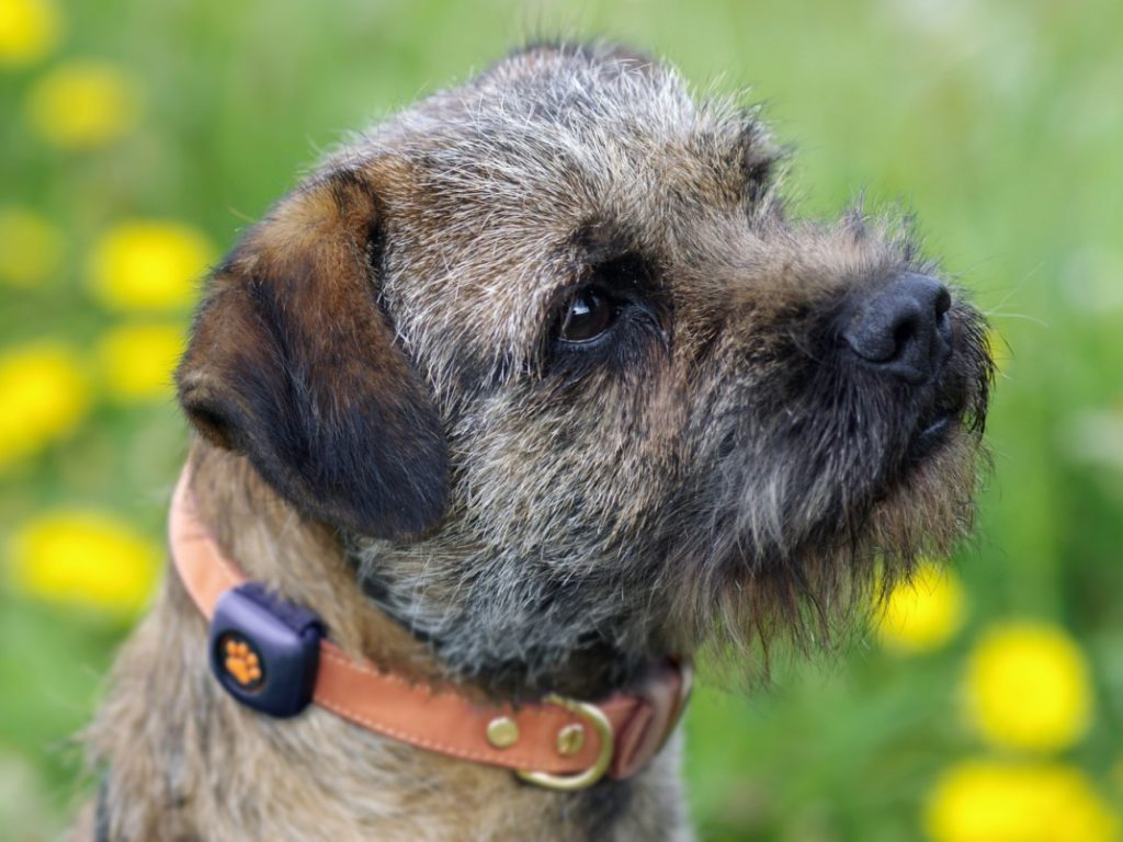 Yes, Border Terriers are Affectionate