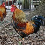 9 Funniest Reasons Why Your Rooster Is Crowing All Day
