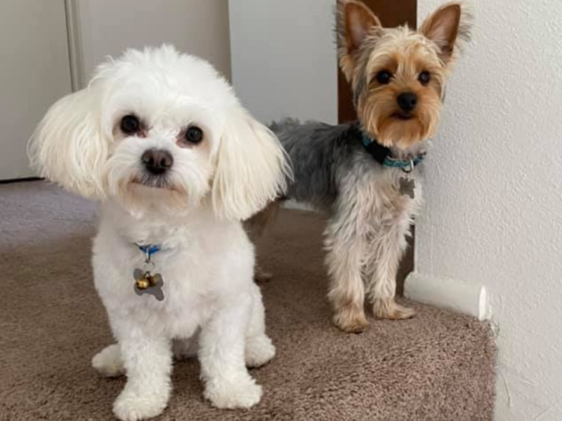 Can Yorkies And Maltese Get Along?