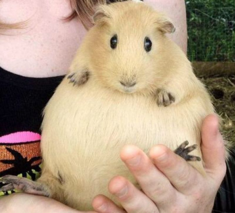 How Many Times Can A Guinea Pig Get Pregnant?
