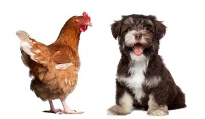 How Smart Are Chickens Compared to Dogs?