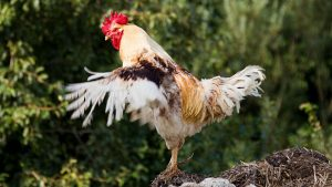 How Old Does a Rooster Have to Be to Fertilize Eggs?Does Breed Matter?