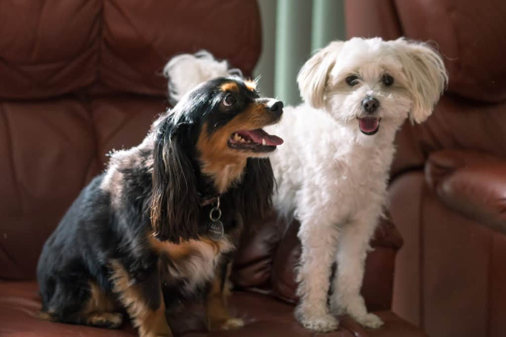 Introducing My Yorkie and Maltese To Each other