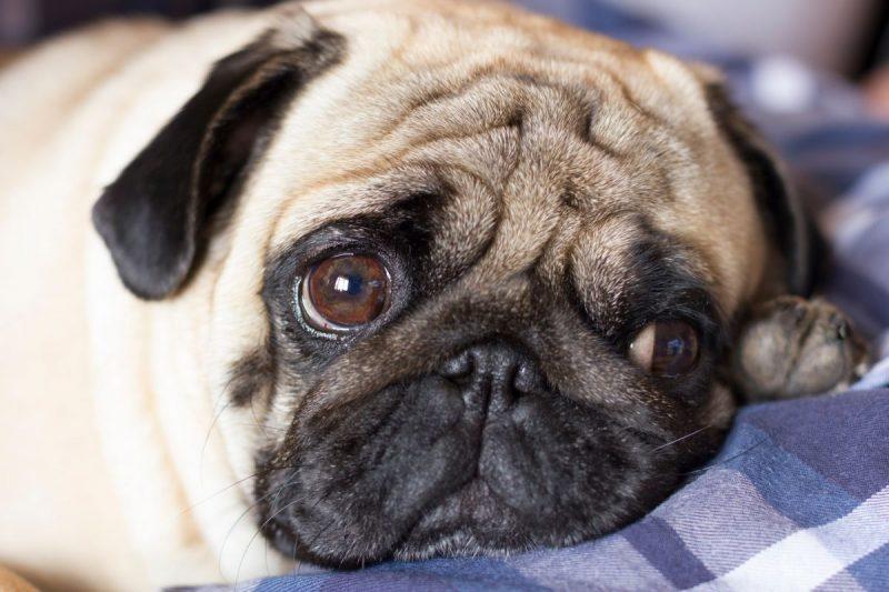 Why Do Pugs Always Look Sad?