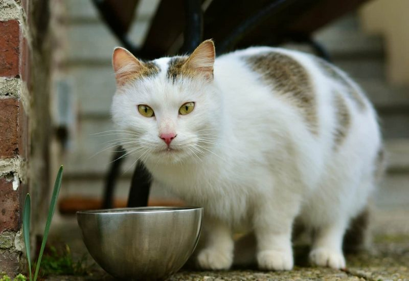 Why Does My Cat Lick His Food But Doesn't Eat?
