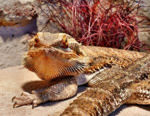Why Do Bearded Dragons Get Stress Marks When Shedding?