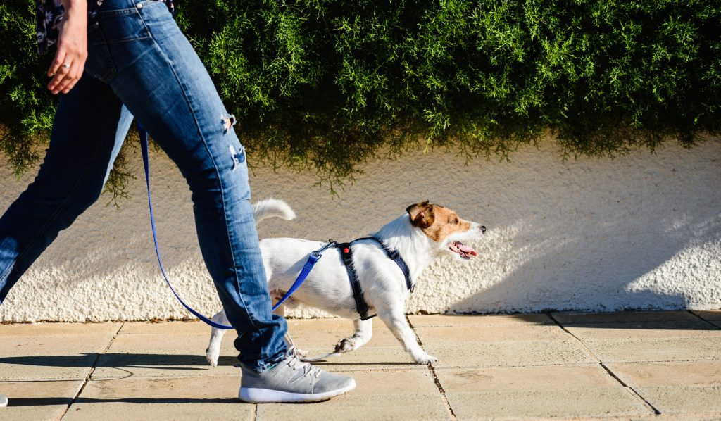 Dogs love to go on walks.